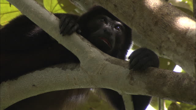 CU, LA, Young gorilla on tree, Africa