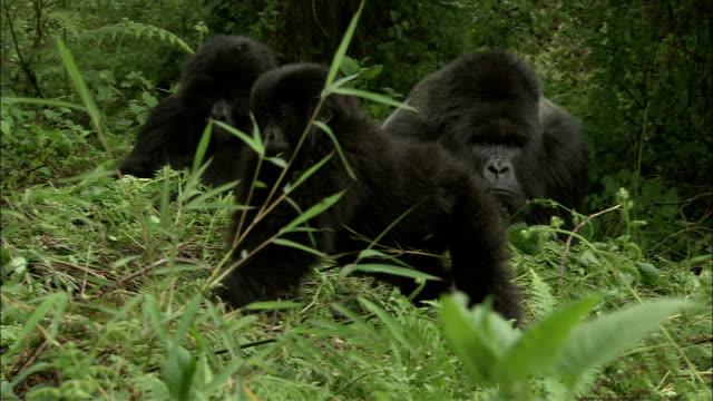 a young gorilla passes by two wrestling gorillas. - gorilla stock-videos und b-roll-filmmaterial