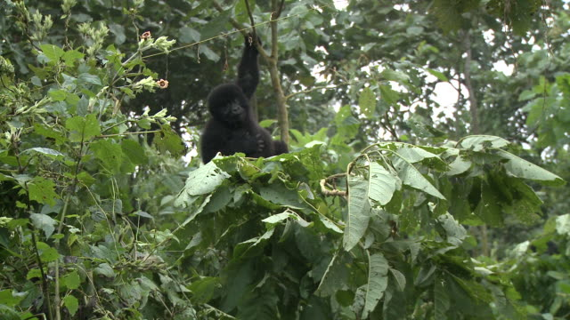 A young gorilla swings on a sapling. Available in HD.