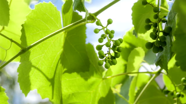 vídeos y material grabado en eventos de stock de uva joven bayas en principios del verano. - haz de luz