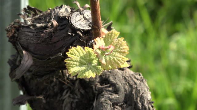 young grape leaves by vine stalk - grape leaf stock videos and b-roll footage