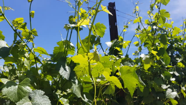 young grape leaves on the vine moving with the breeze - 酢点の映像素材/bロール