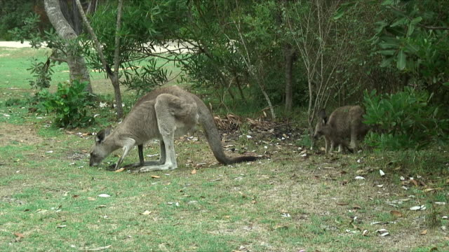ms zi young gray kangaroo and it's mother grazing in bushes, forster-tuncurry, new south wales, australia - カンガルーの子点の映像素材/bロール