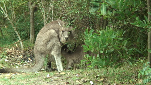 ms young gray kangaroo feeding on mother's milk in bushes, forster-tuncurry, new south wales, australia - カンガルーの子点の映像素材/bロール