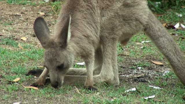 cu young gray kangaroo grazing on grass, forster-tuncurry, new south wales, australia - カンガルーの子点の映像素材/bロール