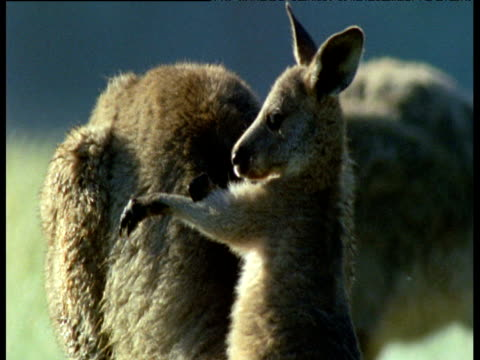 young gray kangaroo grooms its arm and nibbles its mum's ear, australia - babyhood stock videos & royalty-free footage