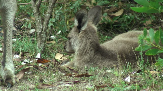 cu young gray kangaroo resting in bushes, forster-tuncurry, new south wales, australia - カンガルーの子点の映像素材/bロール