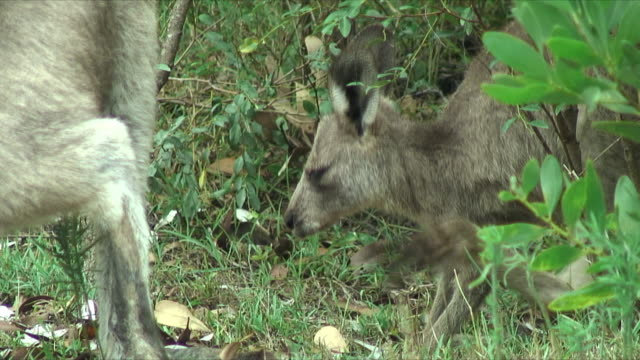 cu young gray kangaroo scratching standing by it's mother in bushes, forster-tuncurry, new south wales, australia - カンガルーの子点の映像素材/bロール