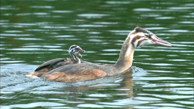 young great crested grebe swimming with its younger chick sibling on its back, sihwa lake wetlands (artificial marsh created for ecosystem restoration), ansan, kyonggi-do province, south korea - kyonggi do province stock videos and b-roll footage