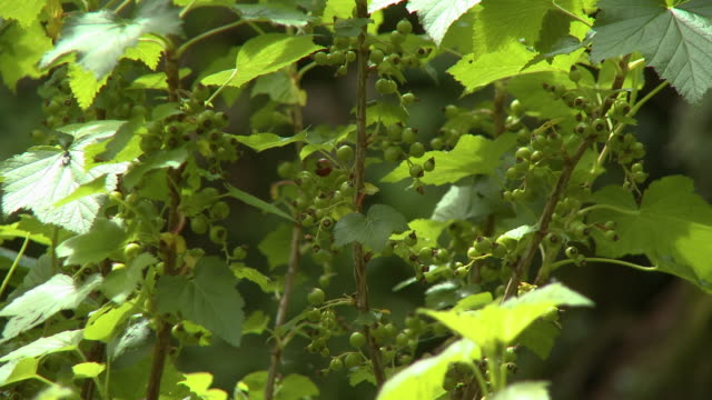young green apples on branch - aomori prefecture stock videos & royalty-free footage