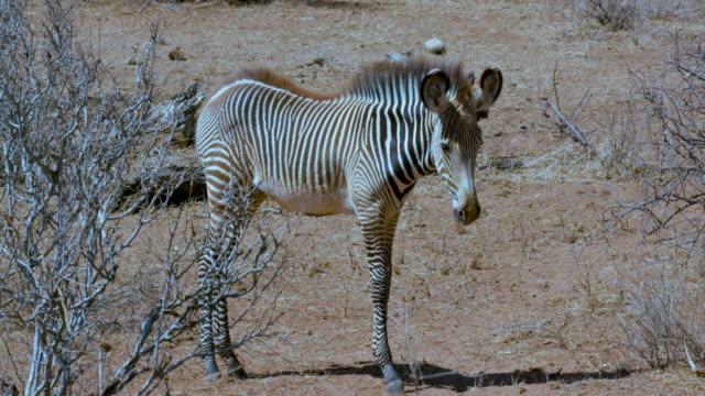 Young Grevy'S Zebras Stood Samburu  Kenya  Africa
