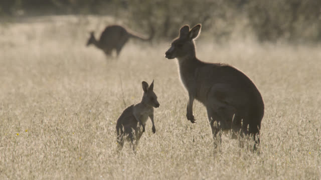 stockvideo's en b-roll-footage met young grey kangaroo and mother, australia - kleine groep dieren