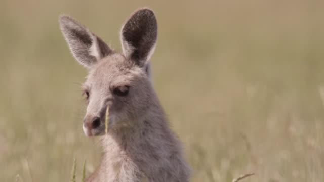 young grey kangaroo hops away, australia - カンガルーの子点の映像素材/bロール