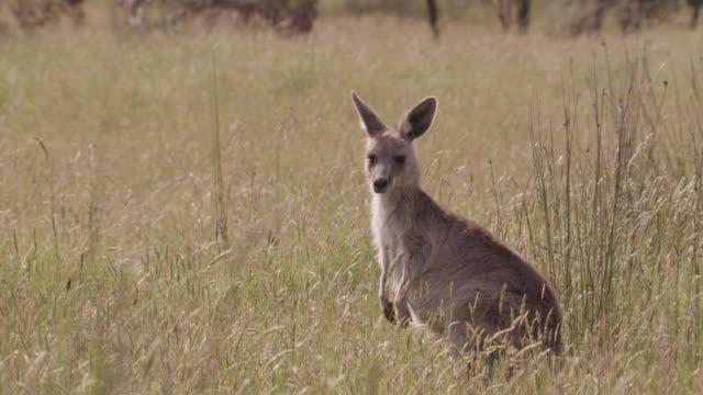 young grey kangaroo looks around, australia - animal attribute stock videos and b-roll footage
