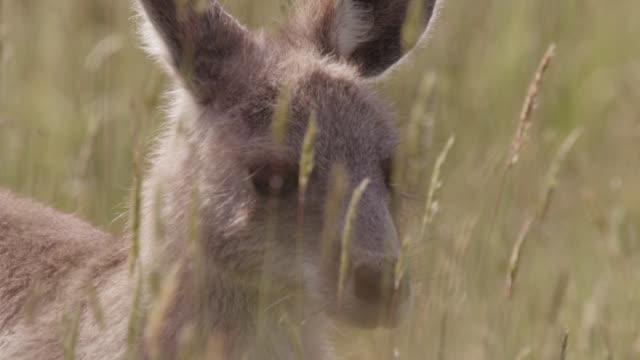 "vidéos et rushes de young grey kangaroo looks around, australia - ""bbc natural history"""