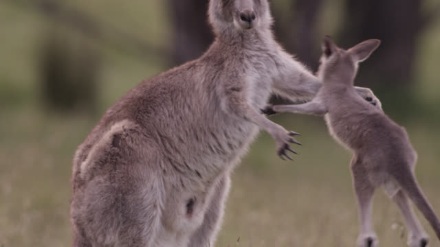 vídeos de stock e filmes b-roll de young grey kangaroo playfights with mother, australia - família animal