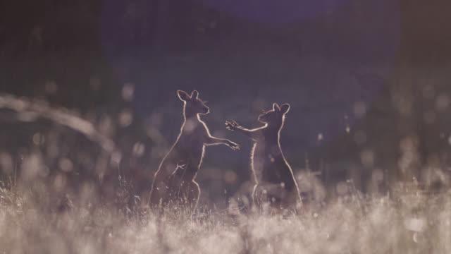 Young grey kangaroos playfight at dawn, Australia
