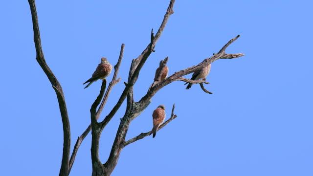young grey kestrels in old tree, maasai mara, kenya, africa - falcon bird stock videos & royalty-free footage