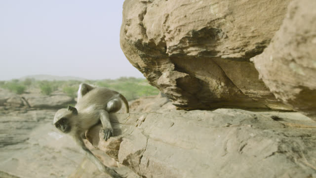 Young grey langur monkey (Semnopithecus dussumieri) grooms and falls off rock ledge, Jodhpur, India
