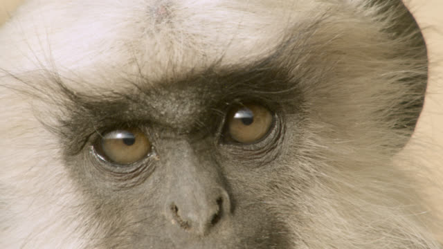 young grey langur monkey (semnopithecus dussumieri) peers around, jodhpur, india - animal eye stock videos and b-roll footage