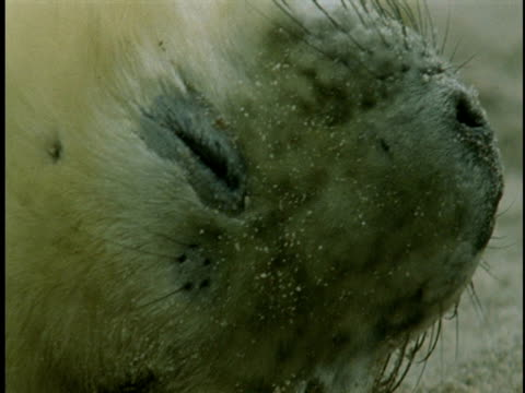 a young grey seal moves around as it sleeps on a beach. - grey seal stock videos & royalty-free footage