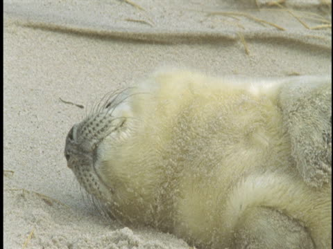a young grey seal pup rolls in the sand on the beach. - seal pup stock videos and b-roll footage