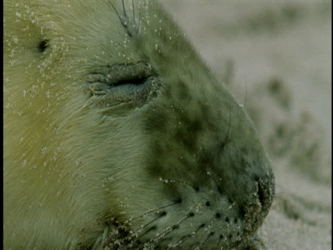 a young grey seal with sand on its whiskers closes its eyes several times. - grey eyes stock videos & royalty-free footage
