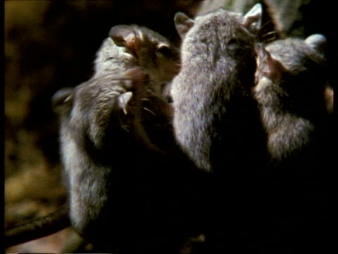 vídeos de stock, filmes e b-roll de cu young grey short-tailed opossum being carried on mother's back - marsupial