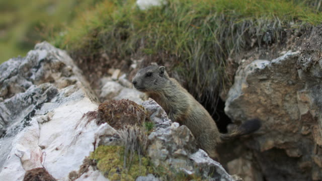 Young groundhog on the Italian Dolomites