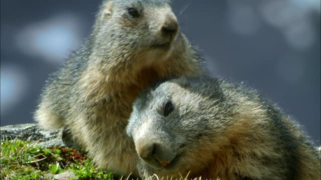 young groundhogs fighting with each other