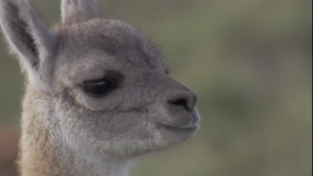a young guanaco looks around while chewing. available in hd. - young animal video stock e b–roll