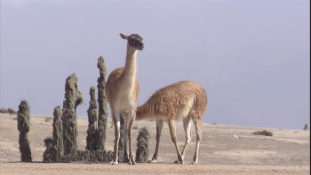 a young guanaco suckles from its mother in the atacama desert, chile. available in hd. - cactus video stock e b–roll