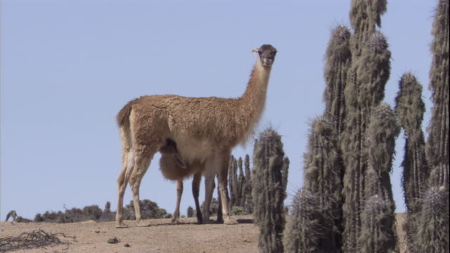 a young guanaco suckles from its mother in the atacama desert, chile. available in hd. - cactus stock videos & royalty-free footage