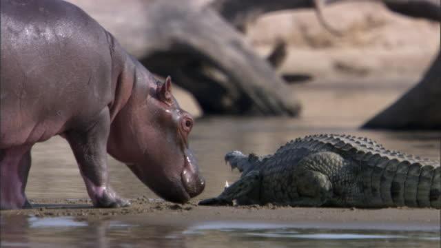 Young hippo (Hippopotamus amphibius) investigates crocodile (Crocodylus niloticus) on riverbank, Luangwa, Zambia
