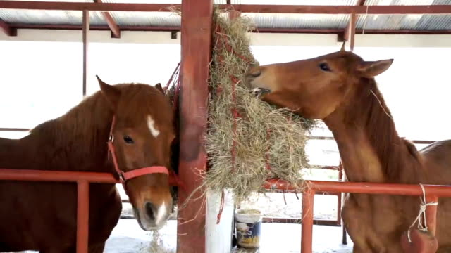 young horses eating hay on the farm in stable. - fieno video stock e b–roll