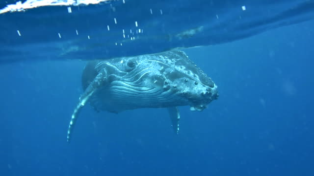 young humpback whale calf swims towards the camera at the surface. - buckelwal stock-videos und b-roll-filmmaterial
