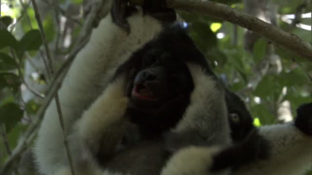young indri lemur (indri indri) grabs parent's head with feet, madagascar - インドリ点の映像素材/bロール