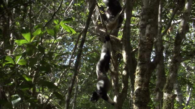 young indri lemur (indri indri) hangs upside down and falls in forest, madagascar - インドリ点の映像素材/bロール