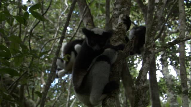 young indri lemur (indri indri) leaps between trees, madagascar - インドリ点の映像素材/bロール