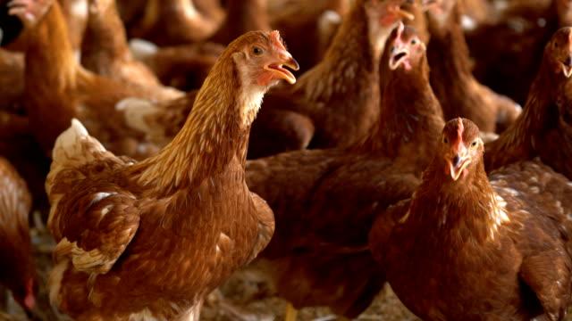 vídeos de stock e filmes b-roll de young isa brown hen in farm. - galinheiro