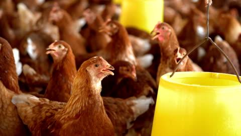vídeos y material grabado en eventos de stock de la joven gallina de isa brown en la granja. - ave de corral