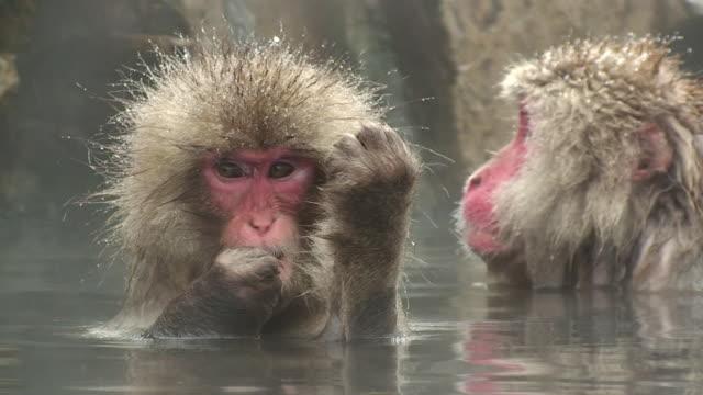 CU Young Japanese Macaque (Macaca fuscata) grooming in hot spring / Jigokudani, Nagano prefecture, Japan