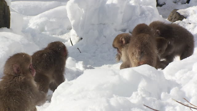 WS Young Japanese Macaques (Macaca fuscata) playing in snow / Jigokudani, Nagano prefecture, Japan
