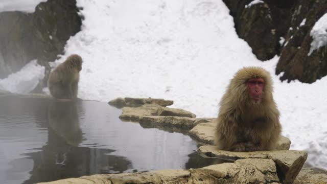 young japanese snow monkey stays at edge of hot spring bathtub and looks around restlessly among the snowy mountain in jigokudani snow monkey park (jigokudani-yaenkoen) at nagano japan on feb. 19 2019. - 温泉点の映像素材/bロール