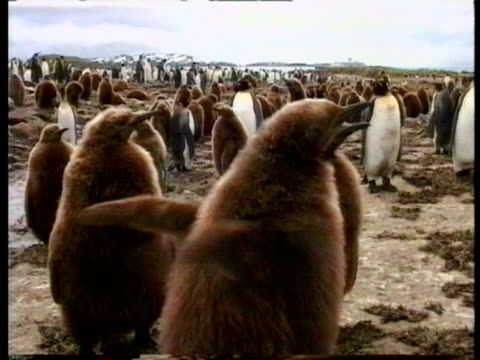 ms young king penguin, aptenodytes patagonicus, flapping wings and calling, series, antarctica - south pole stock videos & royalty-free footage