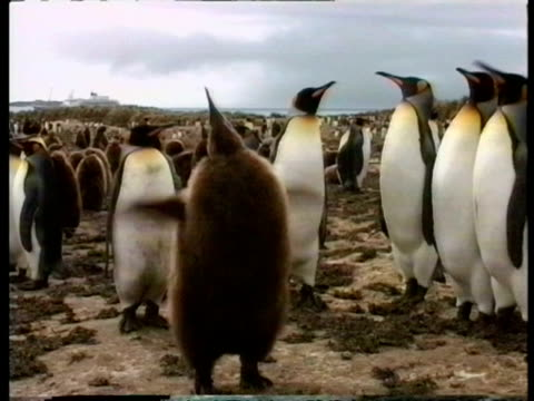 ms young king penguin, aptenodytes patagonicus, flapping wings and calling, antarctica - south pole stock videos & royalty-free footage