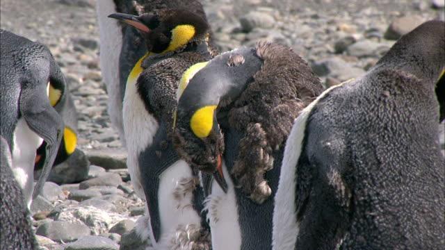 vídeos y material grabado en eventos de stock de young king penguin molting - pingüino cara blanca