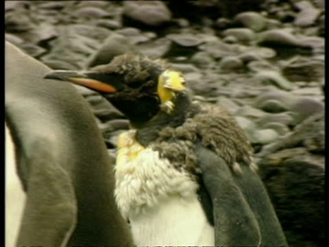 ms young king penguins, aptenodytes patagonicus, during moulting phase, antarctica - 南極点点の映像素材/bロール