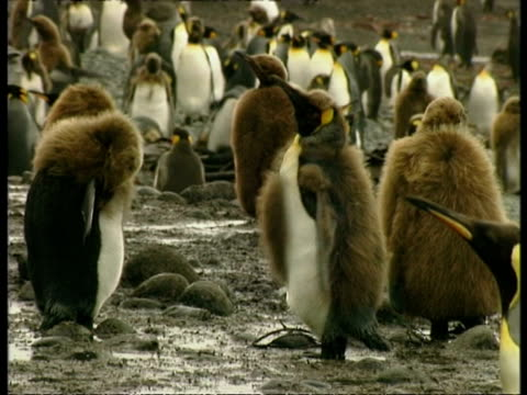 ms young king penguins, aptenodytes patagonicus, preening themselves, antarctica - 南極点点の映像素材/bロール