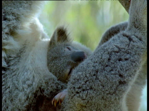 young koala sticks its head out of mothers pouch, then she leaves, australia - beuteltier stock-videos und b-roll-filmmaterial